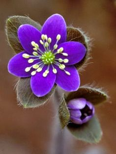 Hepatica and Bud, Lapeer, Michigan, USA