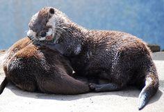 animaux en mode oreillers 28   31 photos danimaux en mode oreillers   sommeil raton laveur photo perroquet oreiller loutre lion lapin image ...