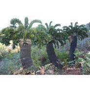 Latifrons in habitat Living Fossil, Pale Blue Dot, Hardy Plants, Planting Succulents, Palms, Prehistoric, Ferns, Habitats, Tropical