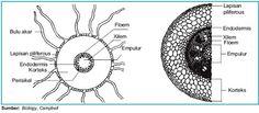 Gambar 1. Penampang melintang akar tanaman Monokotil