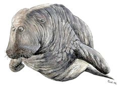 Steller's Sea Cow (Watercolor) by Jean-Christophe Guéguen. The Steller's sea cow (Hydrodamalis gigas) was a large, herbivorous marine mammal. It was the largest member of the order Sirenia. It was first described in 1741. Within 27 years of discovery by Europeans, the slow-moving and easily captured Steller's sea cow was hunted to extinction.
