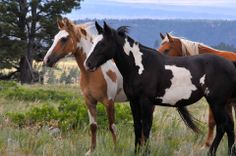 Black Hills Wild Horse Sanctuary- I'm going to have to donate! All The Pretty Horses, Most Beautiful Horses, Beautiful Mess, Beautiful Babies, Horse Hay, My Horse, Horse Love, Horse Pictures, Animal Pictures
