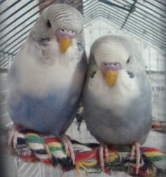 Telling the Gender of Young Budgies - Talk Budgies Forums
