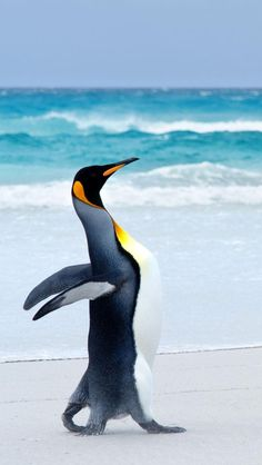King Penguin....here I come...