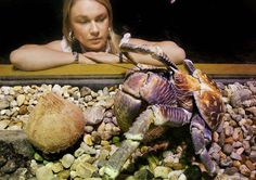 The coconut crab weighs about 6.6 pounds and its legs can span up to two and a half feet.     Liz Hall from the Melbourne Aquarium inspects Coconut Crab as he takes possesion of a coconut in Melbourne, 19 December 2006. They Coconut crab (also known as the Robber Crab) are the largest living crab in the world and can climb coconut trees to harvest coconuts which they can break with their huge nippers and have been gruesomely know to feed on injured or unconcious people in the bush.