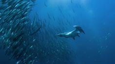 Check Details: Cape gannet diving for fish off Port St. Johns, Wild Coast, Eastern Cape, South Africa (© FLPA/FLPA/SuperStock)(Bing United States)