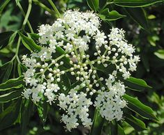 Edible Elderberry, or Poisonous Water Hemlock? How to Tell. Image: Elderberry blooms are irregular flattops. Photo by Green Deane
