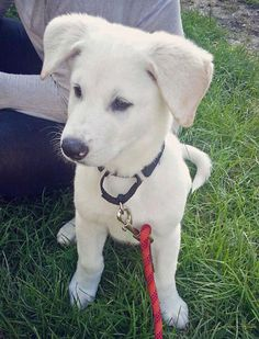 Oakley the Labrador Retriever Mix (lab and German Shepherd) has such a sweet face and demeanor.