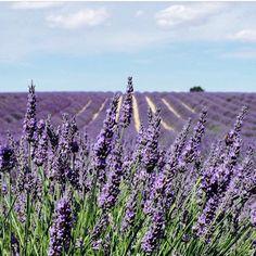 Provence - #lavender