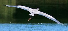 Blue Heron in Flight #Birds