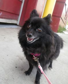 Fluffy cutie Chloe (ID: A387563) is looking for her forever home. Is it with you? Chloe would love to be your sidekick for walks about town, exploring the world. This lovely lady can be independent but also enjoys petting. Chloe's ideal adopters will have previous dog experience. A family with kids 8 years or older might be fine for Chloe -- come meet her and see if it's a good fit.