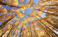 A portrait of a family of four underneath fall-colored aspen trees in the Rocky Mtns of Colorado. Description from fotosearch.com. I searched for this on bing.com/images