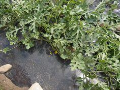 スイカは蔓を平行に並びなおし、雄花から雌花に受粉、本当は早朝が良いとのこと。