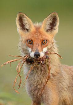 Red Fox by Karol Waszkiewicz Nature Animals, Animals And Pets, Cute Animals, Beautiful Creatures, Animals Beautiful, Malamute, Fantastic Fox, Wild Dogs, Mundo Animal