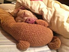 Pit Bulls and Itty Pitties| a tired Princess