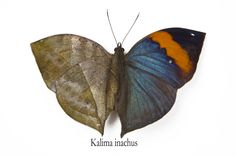 The Dead Leaf Butterfly, Kalima inachus, photograph by:  Darrell Gulin