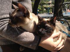 My Tonkinese cats, Mark and Roger, enjoying the sunshine. Oriental Cat Breeds, Tonkinese Cat, Enjoy The Sunshine, Cute Animals, Kitty, Pets, Pretty Animals, Little Kitty, Cutest Animals