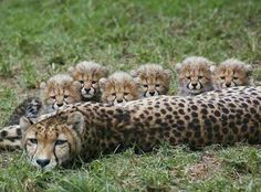 Cheetah momma with cubs