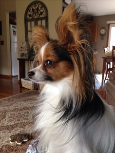 What a beautiful Papillon Dog with Big Ears