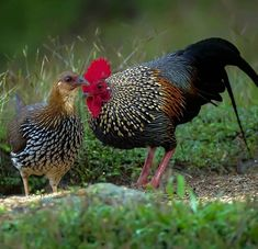 Fancy Chickens, Chickens And Roosters, Chickens Backyard, Beautiful Chickens, Most Beautiful Birds, Animals Beautiful, Farm Animals, Animals And Pets, Rooster Breeds
