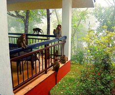 My balcony in a beautiful morning at @windflower in #vythiri #wayanad When you are told to close the door well and don't let food around you better listen. I run for help: they are not agressive not at all but I needen my space back! #monkey #green #resort #luxuryhotel #luxuryresort #kerala #india #amazingindia #keralablogexpress #tripofalifetime #balcony #terrace #landscape #travelblogger #travelbloggerlife #trolleypacker #romanian #blogger #instatravel #travelgram #igers #nikon #nikonisti…