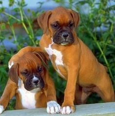 Cute Boxer Puppies, Boxer Dog Puppy, Boxer And Baby, Boxer Love, Best Dog Breeds, Best Dogs, Cute Little Animals, Baby Animals, Staffordshire Bull Terrier