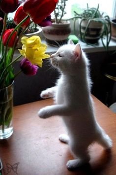 Awh, just a little white kitten being cute and stuff all the gosh dern time. :)