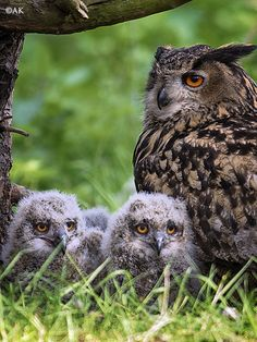 European eagle owl on nest