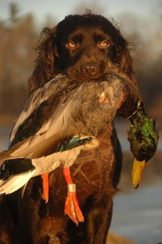 Hunter wants one of these dogs...'Gunner' with Mallard- Boykin Spaniel.  They are retrieving machines.
