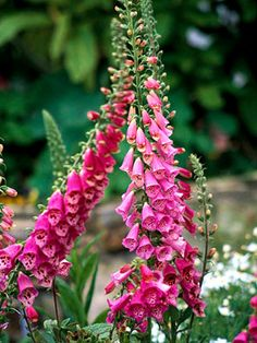 Foxglove--Note: While most common foxgloves are biennial, they often self seed and appear each year in the garden.