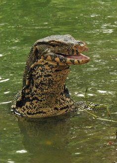Water Monitor (Varanus salvator) by George Cruiser Endangered Reptiles, Cute Reptiles, Reptiles And Amphibians, Mammals, Beautiful Creatures, Animals Beautiful, Cute Animals, Monitor Lizard, Komodo Dragon