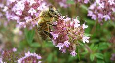 XΡΥΣΟ ΜΕΛΙ ΖΑΚΥΝΘΟΥ: Μελισσοκομία: Βάλτε τις μέλισσες να δουλέψουν για σας