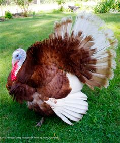 Bourbon Red Turkey, We should all become vegetarians. Right? Very beautiful bird.