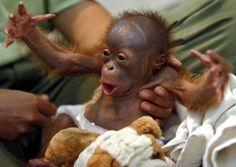 cute+baby+animals++006+-+baby+orangutan.jpg 659×468 pixels