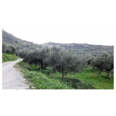 New Year in the olive groves ☺ Happy 2019 Olive Tree, Homeland, Greece, Country Roads, Happy, Nature, Inspiration, Instagram, Greece Country