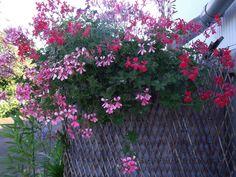 Se lever de bonne heure Ouvrir grande la fenêtre..... le voisinage dort encore Retrouver France Musique et savourer une musique d'Ennio Morricone...... du jazz comme j'aime Un beau matin d'août