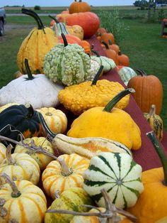 Hawk Valley Garden...Heirloom squash and gourds