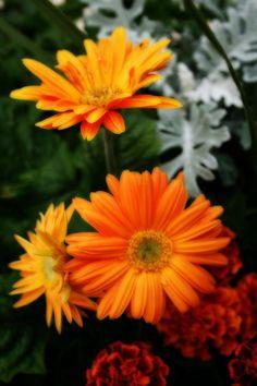 Featured Tangerine, Colorful Tangerine, Tangerine Colored, Daisies Kay, Sunflowers Daisies, Gerbera Daisies, ️Flower Power   , Daisies Colorful, ...