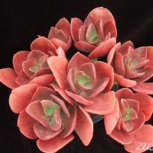 Echeveria 'Ruby Lips' - Normally grows as a single rosette, yet this plant has grown out of a crested one and reverted back to a beautiful clump of many rosettes. An Echeveria Bouquet! Types Of Succulents, Growing Succulents, Cacti And Succulents, Planting Succulents, Planting Flowers, Succulent Names, Echeveria, Succulent Gardening, Container Gardening