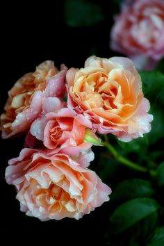 Rose 15 by Motony Anitha