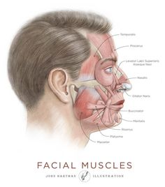 human-anantomy-muscles-face