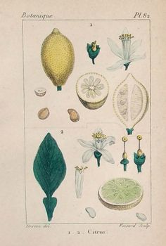 1828.Dos pequeños grabados  de Botánica por CastafioreOldPrints,