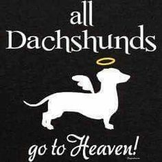 No automatic alt text available. Weenie Dogs, Pet Dogs, Dogs And Puppies, Dog Cat, Doggies, Dachshund Art, Piebald Dachshund, Daschund, Crusoe The Celebrity Dachshund