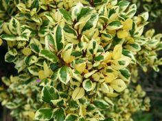 """Luma apiculata """"Glenleam Gold"""""""