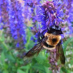 Bee in salvia