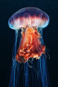 """Jellyfish ➖➖➖➖➖➖➖➖➖ ➖➖➖➖➖➖➖➖➖ Color ➖➖➖➖➖➖➖➖➖ Ocean ➖➖➖➖➖➖➖➖➖ """"Cyanea capillata (by Alexander Semenov)"""" Colorful Jellyfish, Jellyfish Tank, Jellyfish Facts, Jellyfish Quotes, Jellyfish Aquarium, Jellyfish Light, Lion's Mane Jellyfish, Jellyfish Pictures, Colorful Fish"""