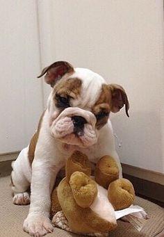 Bulldog puppy ❤ Wanna' play?