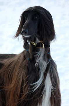 Afghan Hound, gorgeous chocolate sable with white. Note how the ears are kept clean. Saori Wohlin