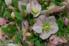 Light pink Hellebores at New Covent Garden Flower Market January 2017 New Covent Garden Market, Flower Market, Love Flowers, Shrubs, January, Trees, Marketing, Plants, Pink