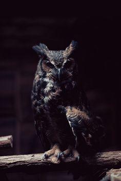 dark owl,i kinda like owls,birds,nature Beautiful Owl, Animals Beautiful, Cute Animals, Great Horned Owl, Tier Fotos, Night Owl, Night Night, Night Time, Mundo Animal